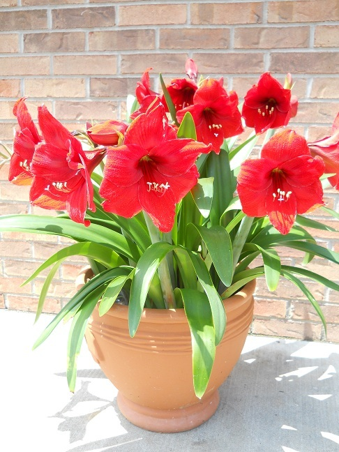 Lovely pot of Amaryllis plants