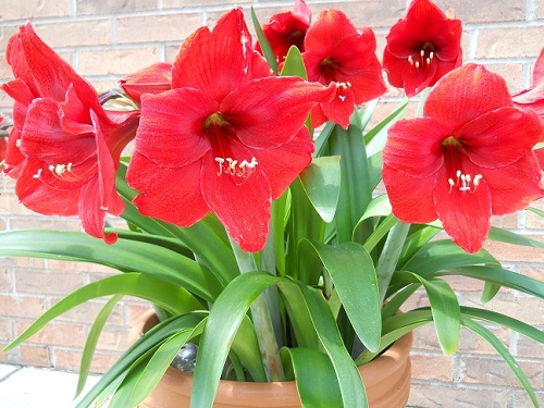 Huge red Amaryllis blossoms