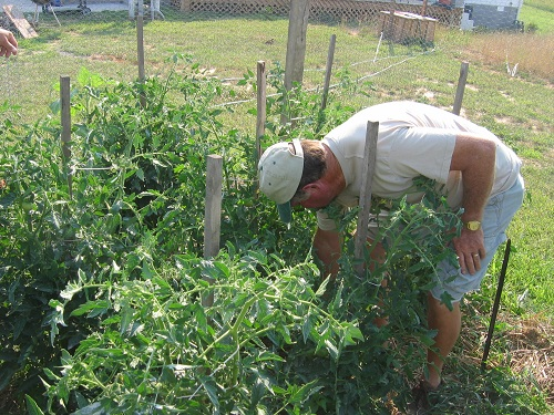 Dad inspects his tomato plants on Father's Day