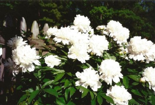 Lovely and fragrant peony blossoms