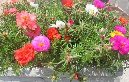 Portulaca in bloom
