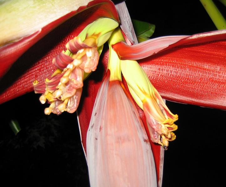 A banana plant blooms in Ky.