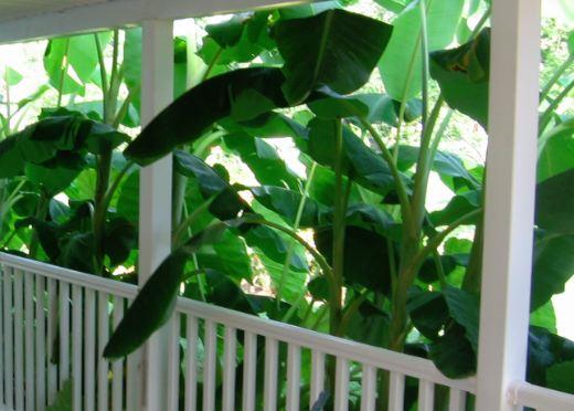 Banana plants make good and fast shade