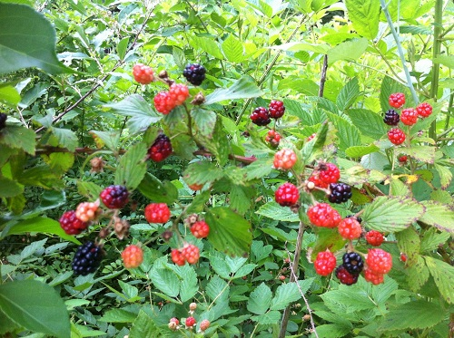 Blackberries begin to ripen