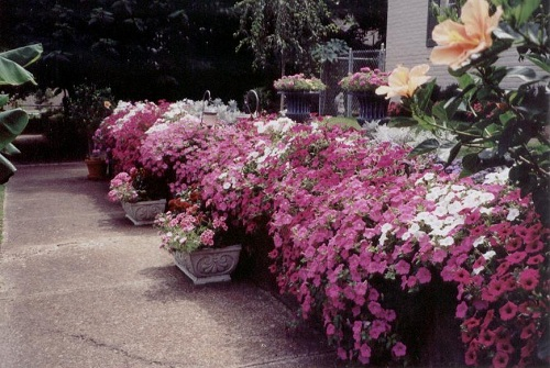 Tame a Wall With Trailing Petunias