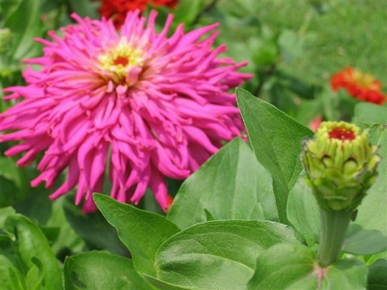 Fringed zinnia and bud