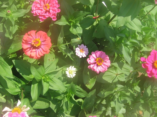 The zinnias begin to bloom
