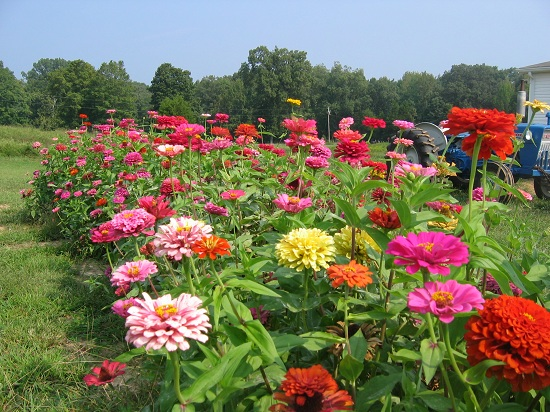 Zinnias on the farm