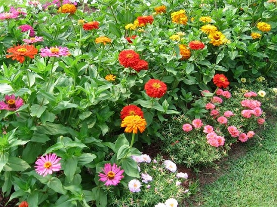 Zinnias under-planted with portulaca