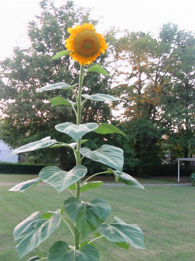 Russian Giant sunflower