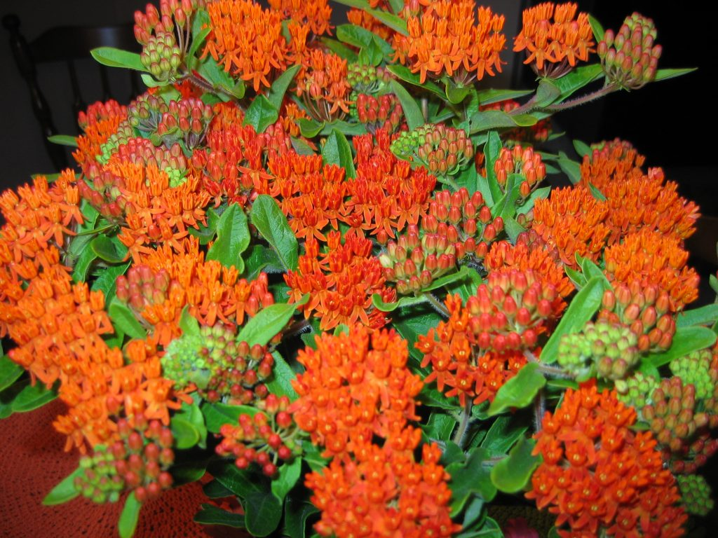 Butterfly weed bouquet
