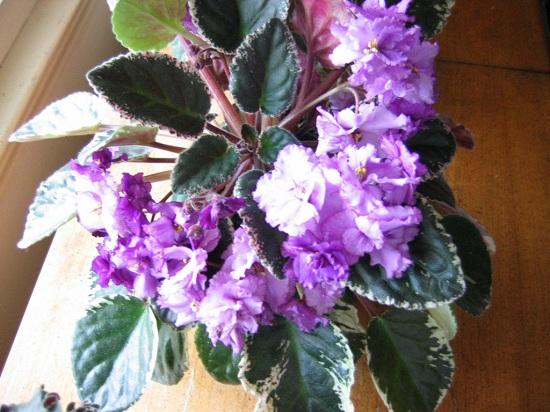 Violets love window sills
