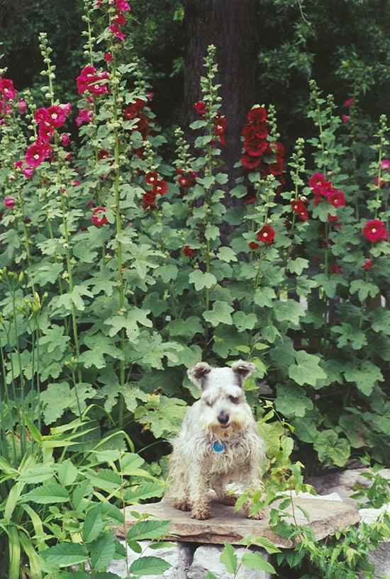 My dog Katy among the Hollyhocks