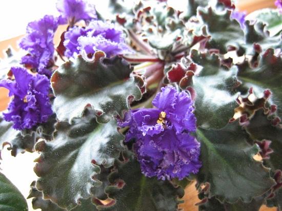 A vigorous violet
