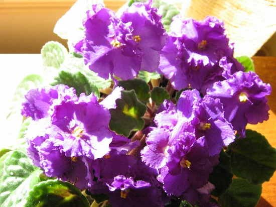 Feed your violets for lots of blooms