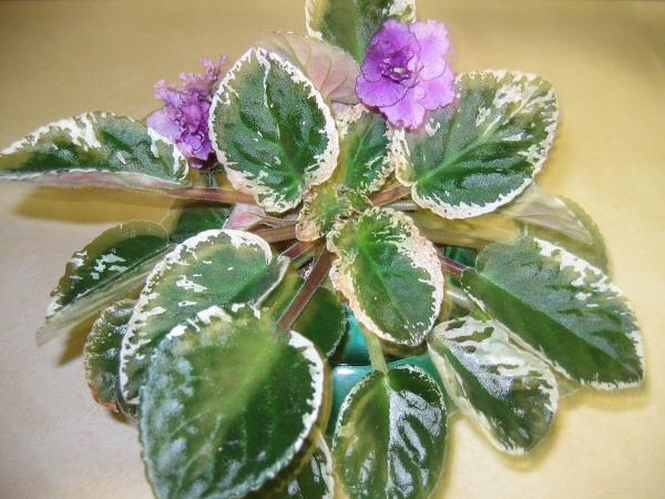 African violet with variegated leaves