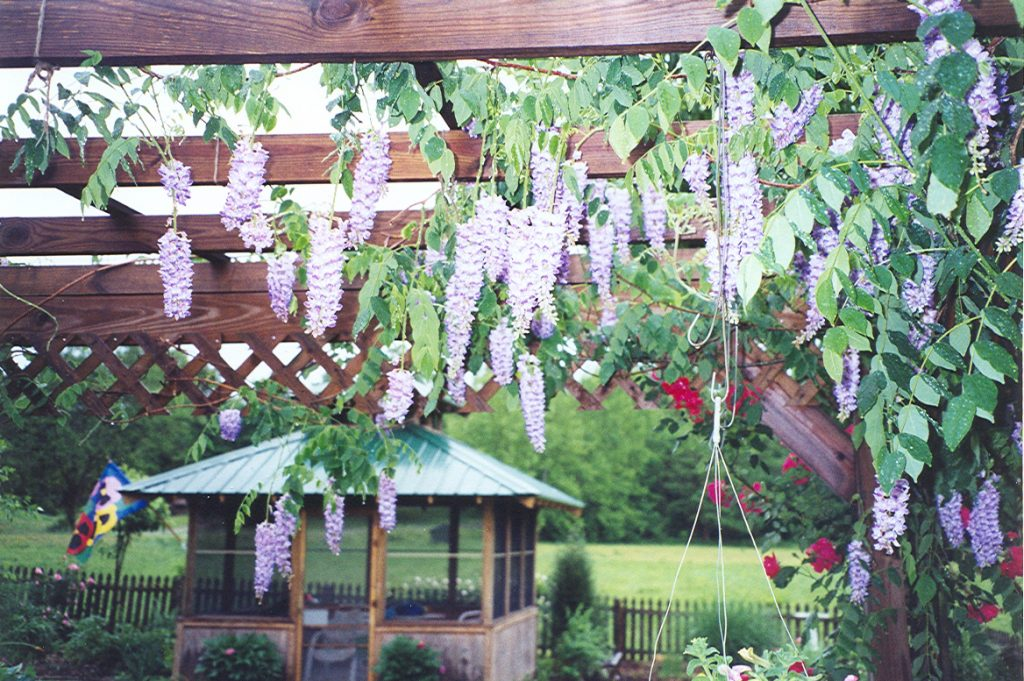 Wisteria hanging from my pergola