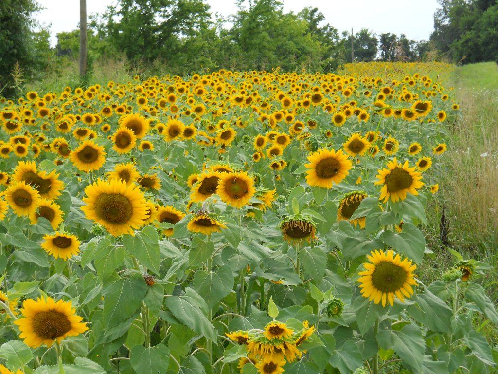 My field of sunflowers