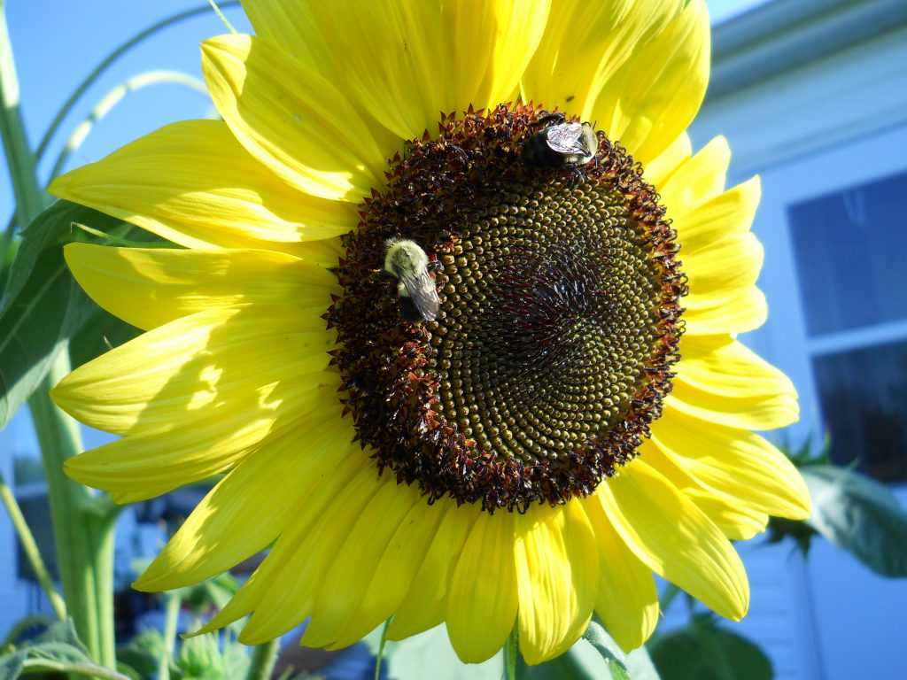 "Bees love the ""lemon"" yellow"