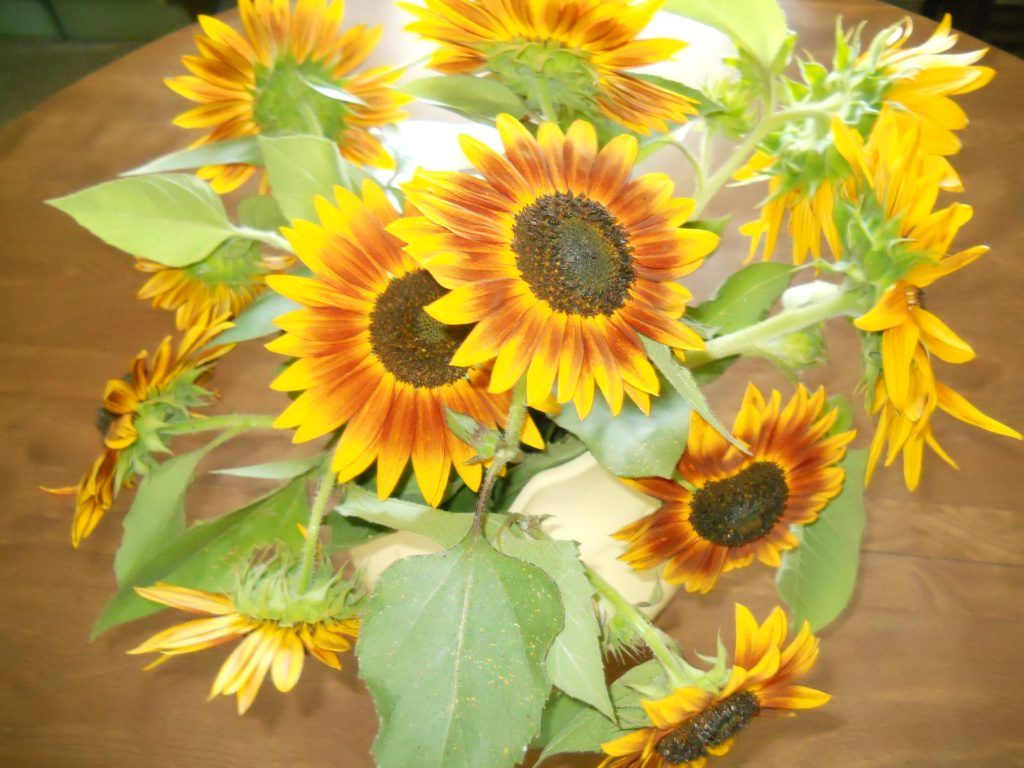 """Painted"" sunflowers"