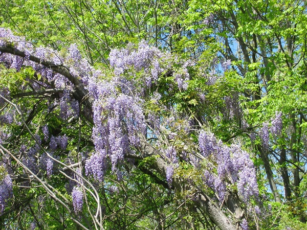 Wild wisteria in West Kentucky