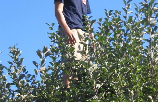 In the apple tree tops