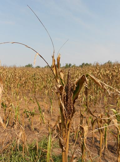 Kentucky cornfield during the drought of 2012