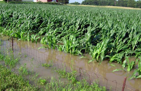 Flooded Kentucky cornfield in 2013