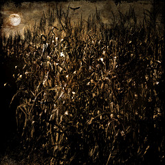 The cornfield by moonlight