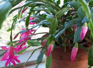 Lovely Christmas Cactus