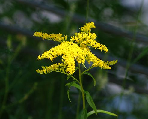 Kentucky State Flower - Goldenrod