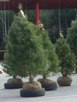 About Live Christmas Trees