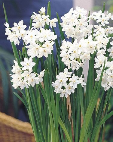 Tips for Fragrant Paperwhite Narcissus