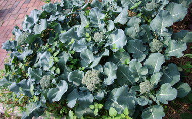 gardener in winter gets cabbage off to a good start