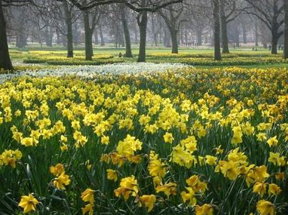 Favorite Garden Poems - Daffodils