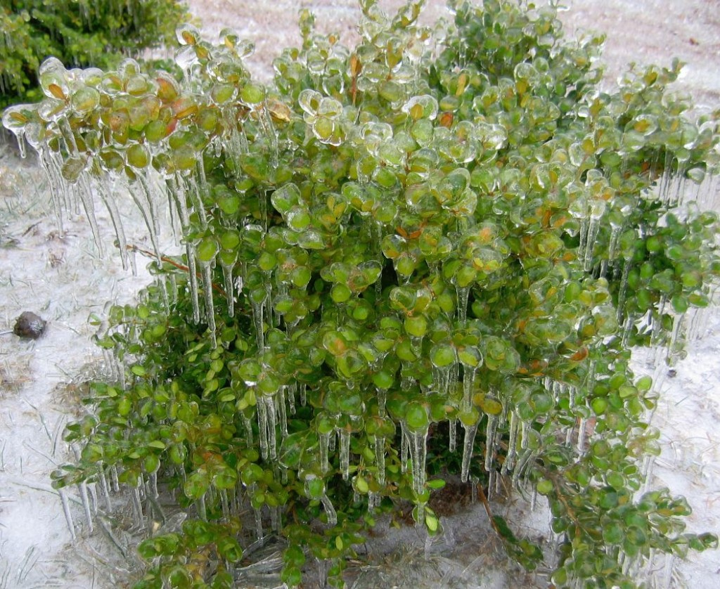 a boxwood bush becomes an icebox