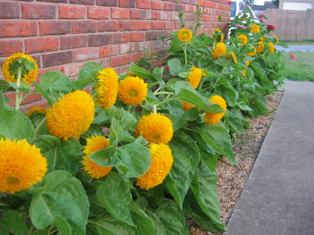 Teddy Bear sunflowers make a superb small border