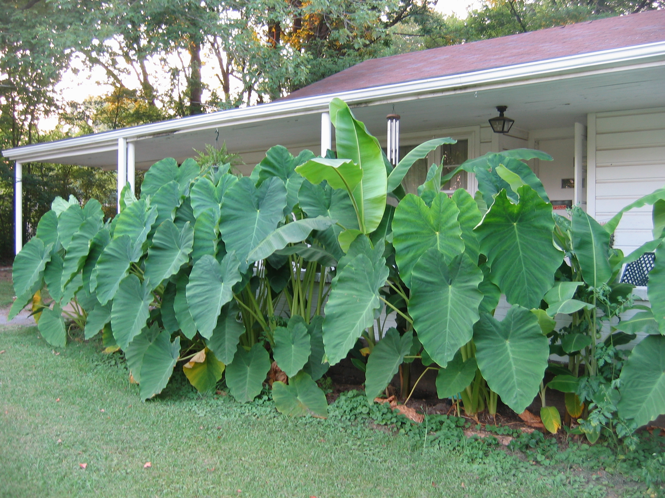 seven temporary garden hedges - elephant ears