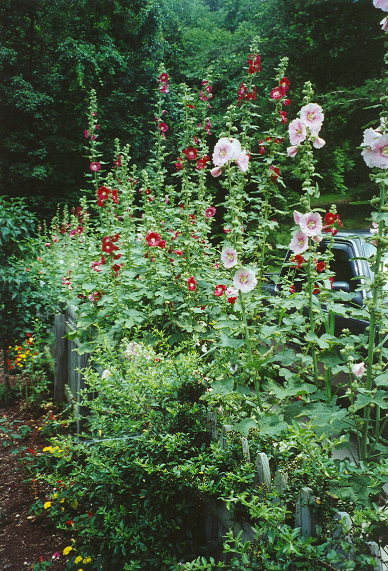 seven temporary garden hedges - hollyhocks make a superb border
