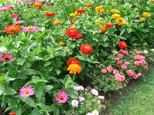 zinnias planted thickly in a border
